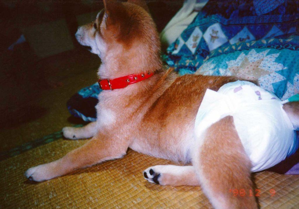 幼犬時代の柴犬